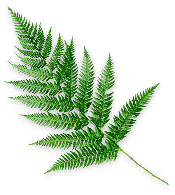 middle age beauty tips - a photograph of a fern